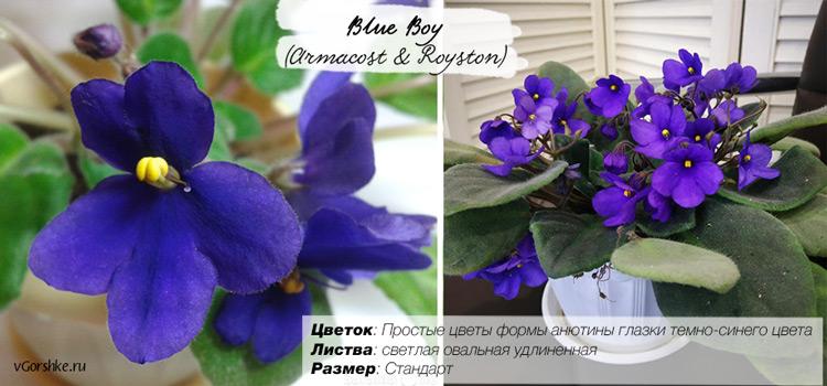 Blue Boy (Armacost & Royston), форма цветка - анютины глазки