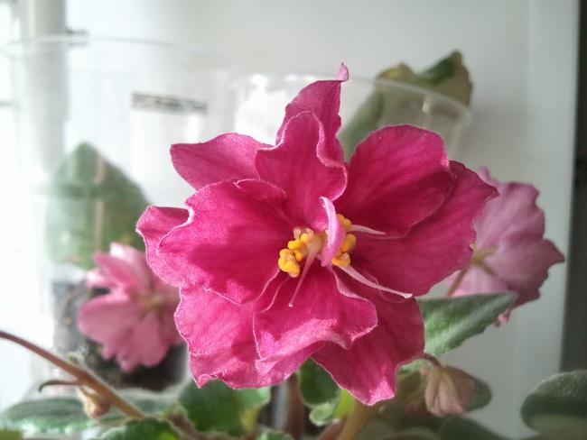 ЕК-Танцующее Пламя, цветы с выемчатыми краями