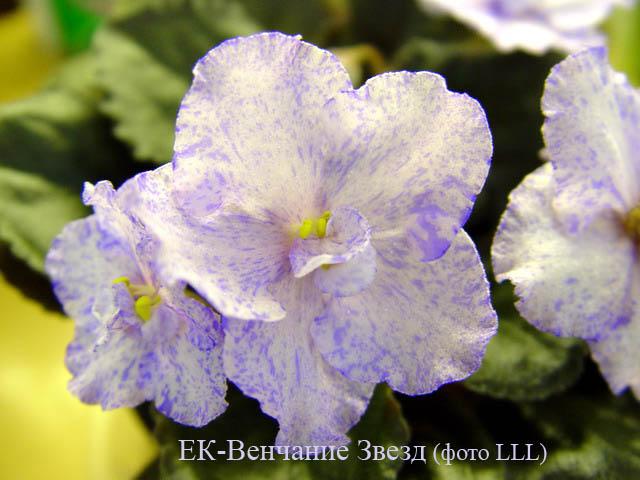 ЕК-Венчание Звёзд с гребешковыми цветами
