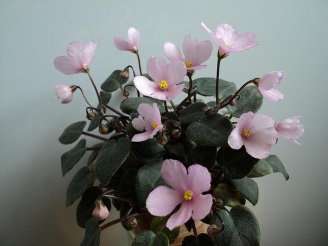 Hot Pink Bells (Harris), кустовой трейлер