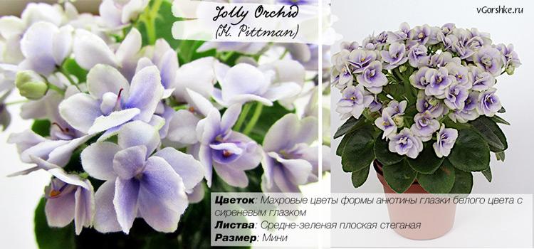 Махровая, Jolly Orchid (H. Pittman)