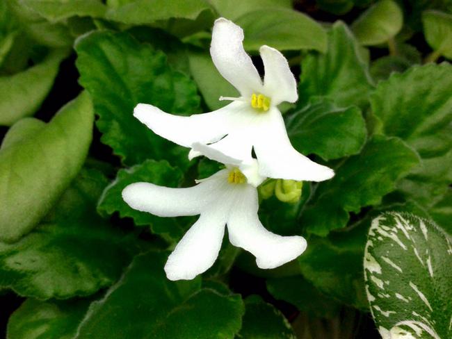 Lunar Lily white, цветок оса