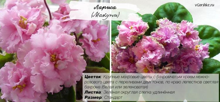 Лариса (Макуни), с бахромчатыми цветами