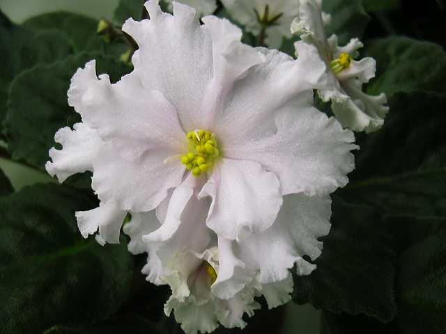 Сережа (Макуни), с гребешковыми цветами