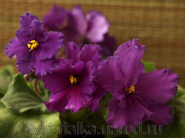 С гребешковыми цветами, Святой Валентин (Макуни)