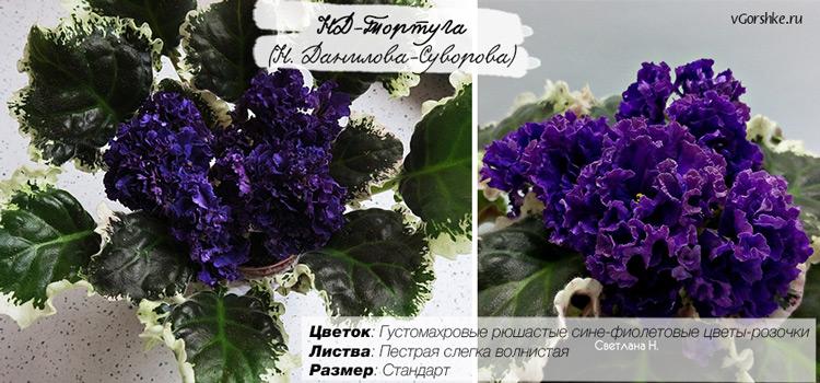 НД-Тортуга, очень махровые цветы