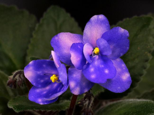 Ness' Blueberry puff (D. Ness)