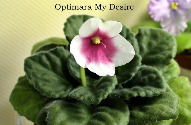 My Desire (Optimara), простой цветок
