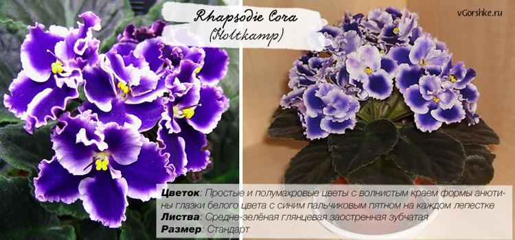 Rhapsodie Cora (Holtkamp) с волнистыми цветами