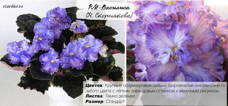 С цветами анютины глазки, РМ-Василиса