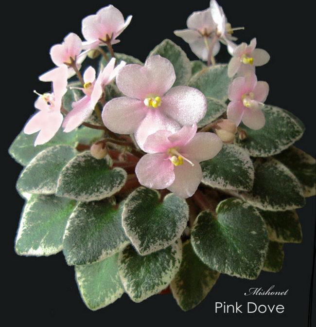 Pink dove (Sorano)