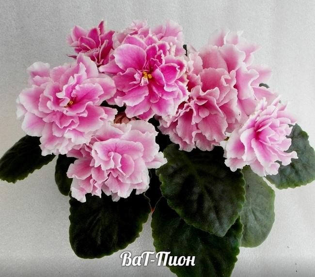 ВаТ-Пион (Татьяна Валькова)