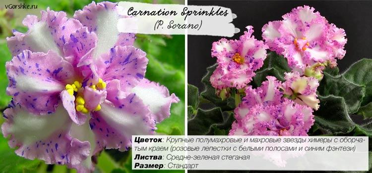 Фиалка Carnation Sprinkles, сорт химера