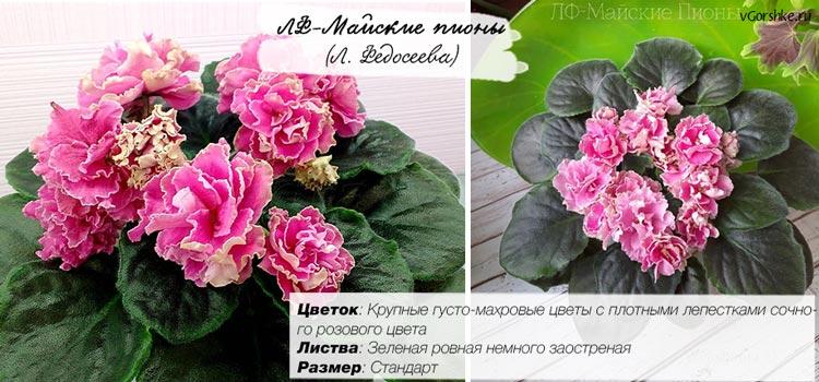 ЛФ-Майские пионы с очень махровыми цветами