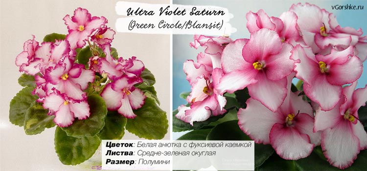 Фиалка сорт Ultra Violet Saturn (Green Circle/Blansit) с каймой