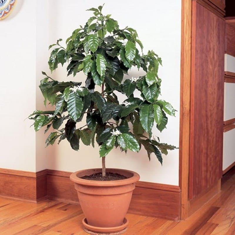 кофейное дерево засохло