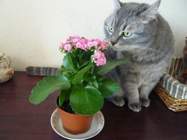 Каланхоэ и коты
