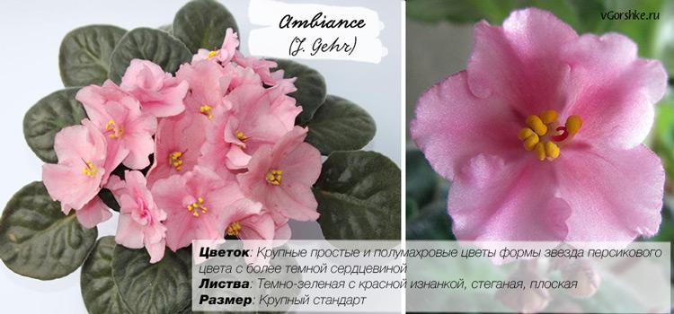 Фиалка сорт Ambiance (J. Gehr), неприхотливый в выращивании
