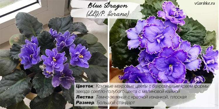 Фиалка Blue Dragon