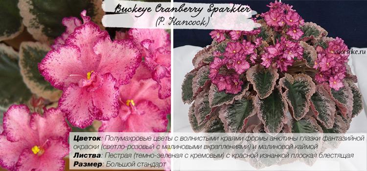 Пестролистный сорт, название Buckeye Cranberry Sparkler