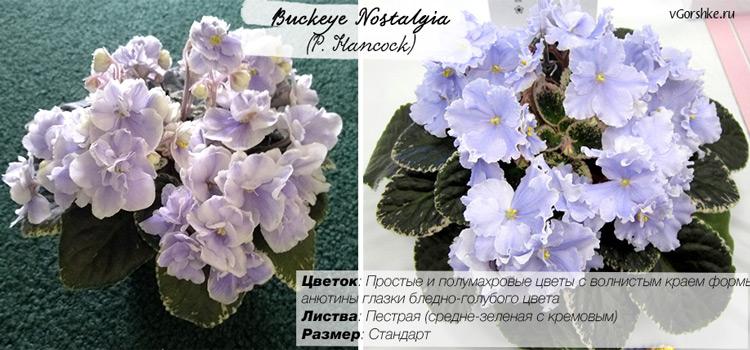Название фиалки Buckeye Nostalgia (P. Hancock), фото
