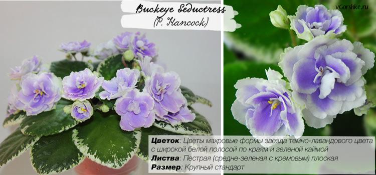 Buckeye Seductress (P. Hancock), название на русском Бакай Сидактрис