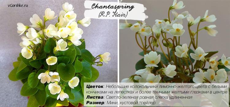 Chantaspring (R.P.Hair), фото