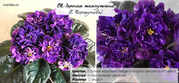 ЕК-Черная жемчужина с фиолетовыми цветами