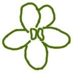 Форма цветка Анютины глазки