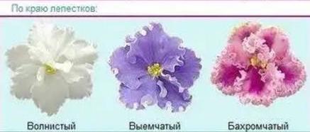 Типы фиалковых цветков по краю лепестка