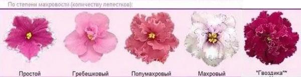 Виды цветов фиалок по степени махровости