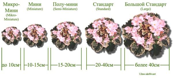 Классификация фиалок по размеру розетки