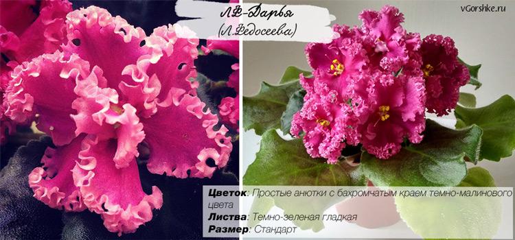 ЛФ-Дарья, розовая сенполия