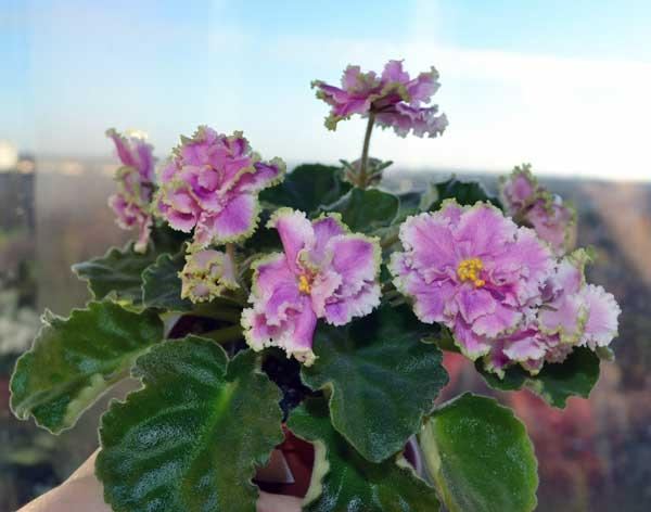 Лесная магия (Макуни), цветок полумахровый