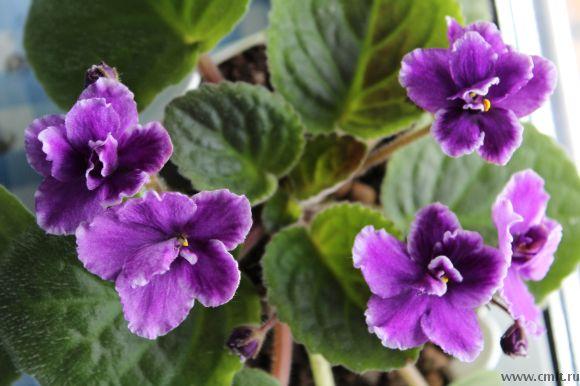 Гребешковые цветы, Мечта Рады (Макуни)