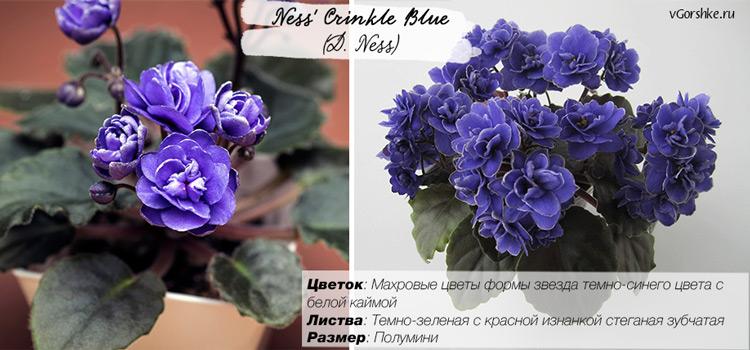 Название сорта Ness' Crinkle Blue (D. Ness)