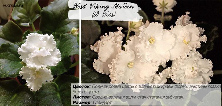 С полумахровыми цветами, Ness' Viking Maiden (D. Ness)