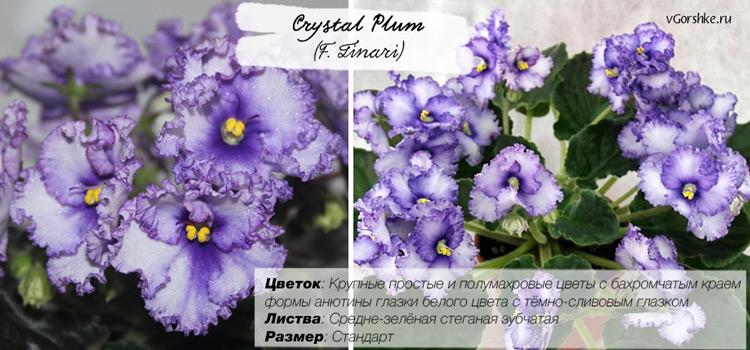 Crystal Plum (F. Tinari), неприхотливая сенполия