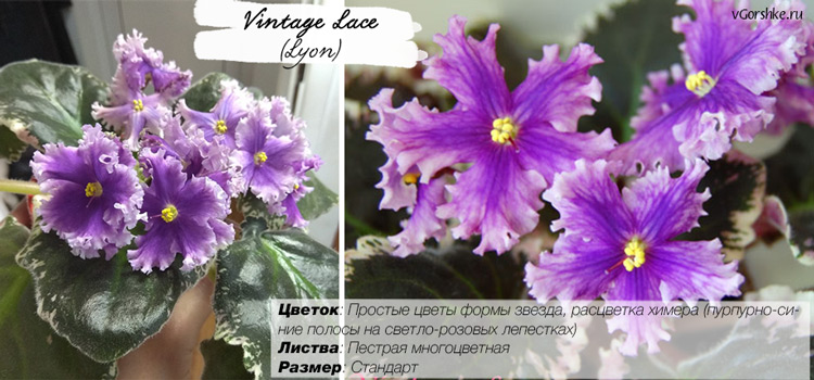 Название - Vintage Lace (Lyon), фото